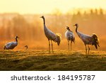 Common Crane  Grus Grus  Group...
