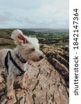 Small photo of Cute white dog with ears flying in the wind on top of the Crook Peak in Mendip Hills, England, UK.