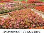 blooming begonia cucullata or...   Shutterstock . vector #1842321097
