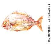 Pagrus Fish  Pagrus Major  Red...