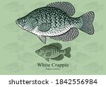 White Crappie. Vector illustration with refined details and optimized stroke that allows the image to be used in small sizes (in packaging design, decoration, educational graphics, etc.)