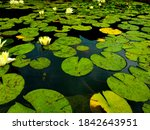 Lilypads At The Gathering Place ...