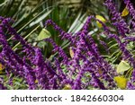 Yellow Butterflies And Purple...