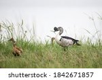 Adult Male Knob Billed Duck  O...