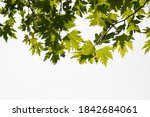 Green Color Plane Tree Leaves...