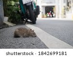 yong and sick rat lay down on...   Shutterstock . vector #1842699181