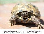 Russian Tortoise Outside ...