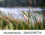 Broadleaf Cattail  Typha...