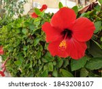 Red Hibiscus Flower On The...