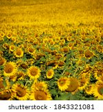 Many Yellow Sunflowers In The...