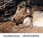 Lioness Licking Her Paw  Etosha ...