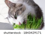 Cute Cat Eating Healthy Grass