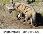 Eastern Aardwolf  Proteles...