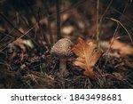 Poisonous Brown Mushroom...