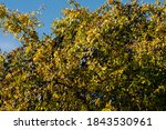 Sloes On A Blackthorn Shrub In...