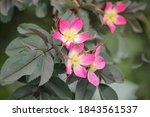 Small Pink Flowers On A Small...