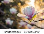 magnolia flowers close up on a blur flower and leaves background in sun backlit - stock photo
