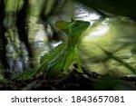 Green Basilisk   Basiliscus...