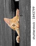 Cat Peeking From Barn Door  B W ...