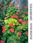 Euphorbia Milii  The Crown Of...