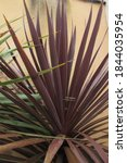 Cabbage Palm Red Star Leaves  ...