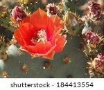 single orange prickly pear bloom | Shutterstock . vector #184413554