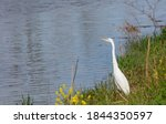 Great White Egret By The Lake