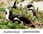 Boulders Beach Jackass Penguin...