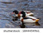 The common shelduck (Tadorna tadorna) - a waterfowl species of the shelduck genus, Tadorna, widespread and common in the Euro-Siberian region of the Palearctic.