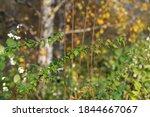 Nettle In The Bush In Autumn