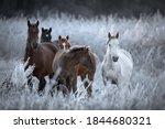 Herd Of Altai Free Grazing...