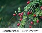 Branches Of Ripe Rose Hips In...