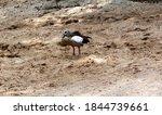 An Egyptian Goose On The Beach. ...