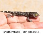 A polka-spotted baby gecko injured by a cat, in the gentle hands of a kind man. - stock photo