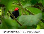 Red Capped Manakin  ...