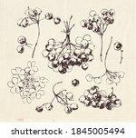 drawing of guelder rose fruits... | Shutterstock .eps vector #1845005494