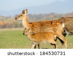 Young Deer In Autumn Field