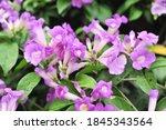 Garlic Vine Violet Flower...