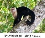White Faced Capuchin   Parque...