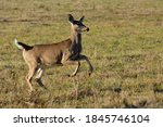 White Tailed Deer Running...