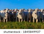 Herd Of Nelore Cattle Grazing ...