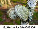 White Polypore Growing On A...