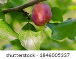 Small photo of Plum fruit with incipient disease hanging on a branch close up selective focus