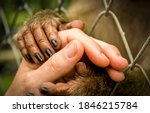 An animal needs human love and protection. Monkey holding man hand in hoping for help