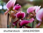 Small photo of Paphiopedilum or blossom Venus slipper is genus of the lady slipper orchid. Venus slipper / Lady orchid in Thailand is a tropical endangered orchid species. Paphiopedilum orchid flowers concept.