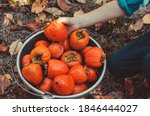 Persimmons Are Harvested In A...