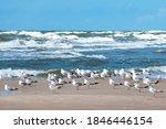 Beautiful Black Headed Seagulls ...