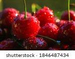 Ripe Juicy Cherries Are...