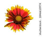 Small photo of Red and yellow Chrysanthemum flower with splayed petals on a pure isolated white background in a square orientation.