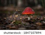 Amanita In A Fairy Forest....